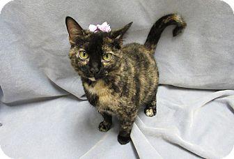 Domestic Shorthair Cat for adoption in Lexington, North Carolina - CRANBERRY