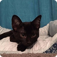 Domestic Shorthair Cat for adoption in Valley Park, Missouri - Kendra
