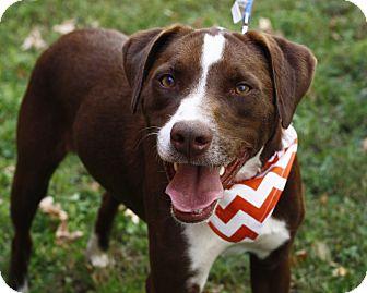 Pointer Dog for adoption in Mayflower, Arkansas - Clyde