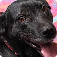 Adopt A Pet :: Raven - Jackson, TN