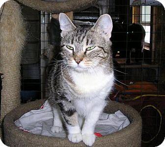 Domestic Shorthair Cat for adoption in Eldora, Iowa - Tressa