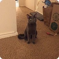 Russian Blue Cat for adoption in Chicago, Illinois - Goliath