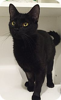 Domestic Shorthair Cat for adoption in Colorado Springs, Colorado - Urbanna
