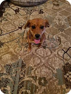 Beagle/Rhodesian Ridgeback Mix Dog for adoption in Fredericksburg, Virginia - Amelia