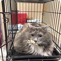 Adopt A Pet :: Loki - Cumming, GA
