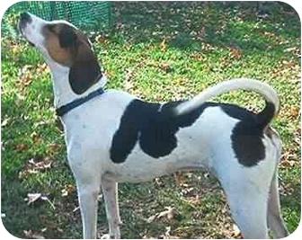 Foxhound Dog for adoption in Waldorf, Maryland - Sawyer