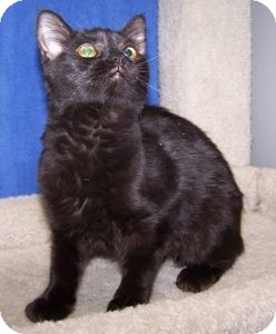 Domestic Mediumhair Cat for adoption in Colorado Springs, Colorado - K-Quail7-Stella