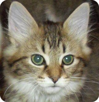 Domestic Longhair Kitten for adoption in Fairborn, Ohio - Charlamayne-Lexington Litter