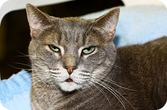 Domestic Shorthair Cat for adoption in Lombard, Illinois - Cartouche