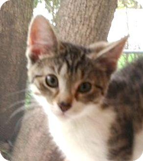 Domestic Shorthair Kitten for adoption in Hamilton, New Jersey - Vega & Nico - 2013