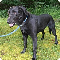 Labrador Retriever Mix Dog for adoption in Salem, New Hampshire - ROCKET J SQUIRREL