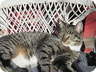 Domestic Shorthair Cat for adoption in Berkeley, California - Hoot Hoot