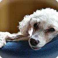 Adopt A Pet :: Peter - Troy, MI
