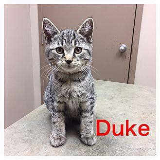 Domestic Shorthair Kitten for adoption in Woodstock, Ontario - Duke