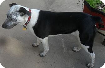 Australian Shepherd/Australian Cattle Dog Mix Dog for adoption in Grand Saline, Texas - Alicia