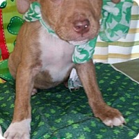 Labrador Retriever/Pit Bull Terrier Mix Puppy for adoption in Detroit, Michigan - Shamrock