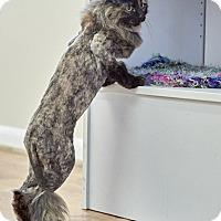 Adopt A Pet :: Amber - Knoxville, TN