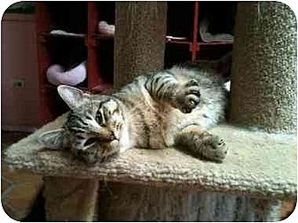 Domestic Mediumhair Cat for adoption in Dallas, Texas - VINNY