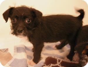 Terrier (Unknown Type, Small)/Chihuahua Mix Puppy for adoption in Sacramento, California - Puck