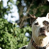 Adopt A Pet :: Patsy - Louisville, KY