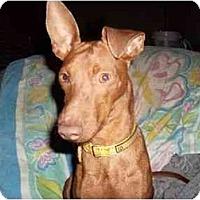 Adopt A Pet :: Tater Tot - Phoenix, AZ