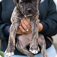 Adopt A Pet :: Igor - Reisterstown, MD