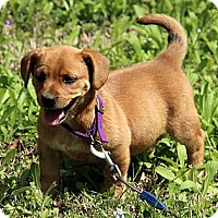 Adopt A Pet :: Evie - Staunton, VA