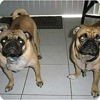 Adopt A Pet :: Benji - Lake Forest, CA