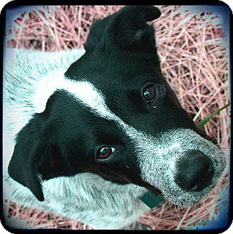 Blue Heeler/Australian Cattle Dog Mix Puppy for adoption in Bastrop, Texas - Willie Nelson