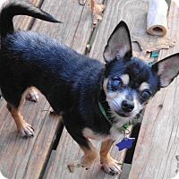 Chihuahua Dog for adoption in Festus, Missouri - #30 Munchkin in Missouri