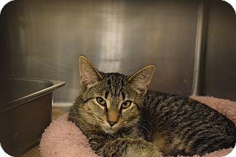 Domestic Shorthair Kitten for adoption in Washington, Pennsylvania - Georgie Girl