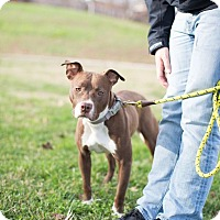Adopt A Pet :: Holly - Reisterstown, MD