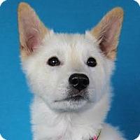 Adopt A Pet :: Miko - Minneapolis, MN