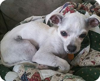 Chihuahua Mix Dog for adoption in Cat Spring, Texas - Dixie