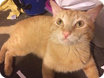 Domestic Shorthair Cat for adoption in Corona, California - Mufasa