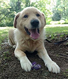 Labrador Retriever/Golden Retriever Mix Dog for adoption in Capon Bridge, West Virginia - Jake Green