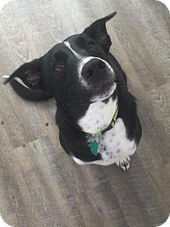 Border Collie/Boxer Mix Dog for adoption in St. Catharines, Ontario - Bosco
