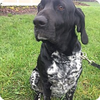 German Shorthaired Pointer Dog for adoption in Vancouver, Washington - Charlie