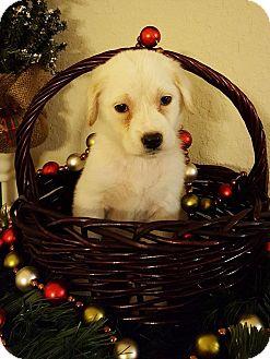 Labrador Retriever Mix Puppy for adoption in Fort Atkinson, Wisconsin - LUCINDA