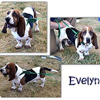 Adopt A Pet :: Evelyn - Marietta, GA