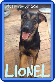 German Shepherd Dog Dog for adoption in White River Junction, Vermont - LIONEL