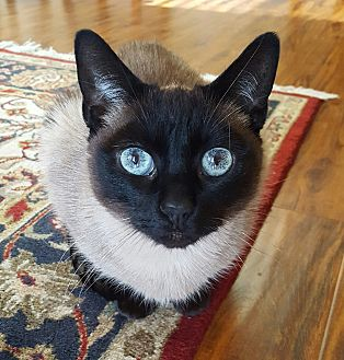 Siamese Cat for adoption in El Dorado Hills, California - Mooshu