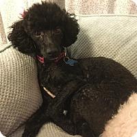 Adopt A Pet :: Abby - Adoption Pending - Gig Harbor, WA