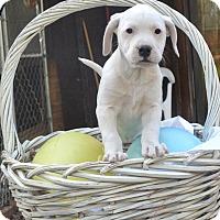 Adopt A Pet :: Cookie - Manchester, NH