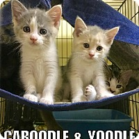 Adopt A Pet :: Caboodle - Maryville, TN
