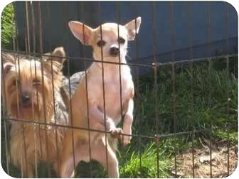 Chihuahua Dog for adoption in Greenville, Rhode Island - Juanita