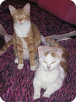Domestic Shorthair Kitten for adoption in Merrifield, Virginia - Gonzo & Kermit