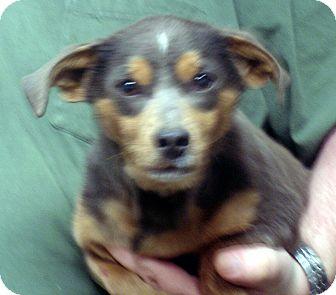 Dachshund/Beagle Mix Dog for adoption in Greencastle, North Carolina - Ernie