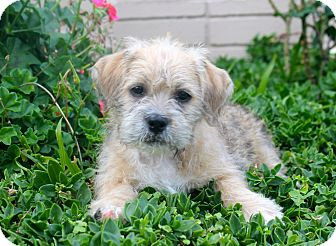 Donner | Adopted Puppy | Los Angeles, CA | Shih Tzu/Pit