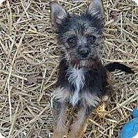 Adopt A Pet :: Oliver - Albert Lea, MN